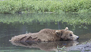 Brown Bear Posters - Sleeping On The Water Poster by Yosi Cupano