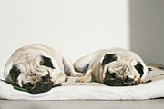 Dog Lying Down Prints - Sleeping Pug Dogs Print by Elli Luca