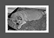 Sleeping Dogs Digital Art Prints - Sleeping Pug in Black and White Print by Terry Mulligan