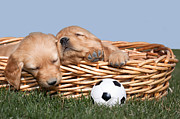 Sleeping Baby Animals Posters - Sleeping Puppies in Basket and Toy Ball Poster by Cindy Singleton