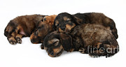 Sleeping Baby Animal Posters - Sleeping Puppies Poster by Mark Taylor