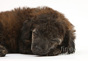 Sleeping Baby Animal Framed Prints - Sleeping Puppy Framed Print by Mark Taylor