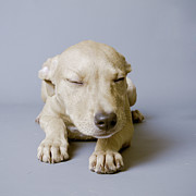 Fort Myers Prints - Sleeping Puppy On White Background Print by Square Dog Photography