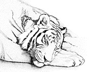 Stripe Drawings Originals - Sleeping Tiger II by Norm Holmberg