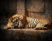Cat Photo Framed Prints - Sleeping Tiger Framed Print by Jai Johnson