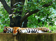 Wild Life Art - Sleeping Tiger by Susan Savad