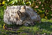 Black. Timber Wolf Photography Prints - Sleeping Timber Wolf Print by Michael Cummings