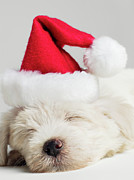 Sleeping Dog Posters - Sleeping West Highland Terrier Puppy Wearing Santa Hat, Close Up Poster by Roger Wright