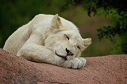 Lion Cub Sleeping Posters - Sleeping White Lion Cub Poster by Michael Mulick