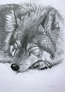 Timber Drawings Posters - Sleeping Wolf Poster by Lucy Swinburne