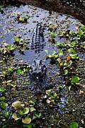 Sleepy Alligator Print by Luis and Paula Lopez