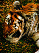Siberian Tiger Posters - Sleepy Amur Tiger Poster by Bill Tiepelman