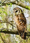 Sue Baker Art - Sleepy Barred Owl by Sue Baker