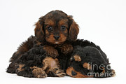 Sleeping Dog Prints - Sleepy Cavapoo Pups Print by Mark Taylor