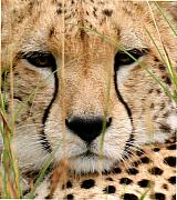 Cheetah Digital Art Posters - Sleepy Cheetah close-up Poster by Nancy Hall