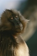 Monkeys Prints - Sleepy Female Gelada With Her Eyes Print by Michael Nichols