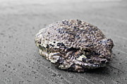 Tiny Tree Frog Prints - Sleepy Frog - St-Antoine-Abbe Quebec Print by Victor Kapas