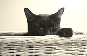 Basket Pastels Posters - Sleepy Kitty Poster by Bernadette Kazmarski