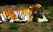 Zoo Tiger Posters - Sleepy Kitty Poster by Scott Hovind