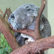 Koala Art - Sleepy Koala by Cathy Lindsey
