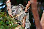 Koala Photo Prints - Sleepy Koala Print by Douglas Barnard