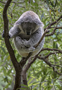 Koala Metal Prints - Sleepy koala Metal Print by Sheila Smart