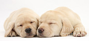 Sleeping Baby Animal Posters - Sleepy Labrador Pups Poster by Mark Taylor