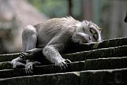 Wary Prints - Sleepy Monkey in Monkey Forest Ubud Bali Print by Gordon Wood