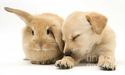 Sleeping Baby Animals Framed Prints - Sleepy Puppy And Rabbit Framed Print by Mark Taylor