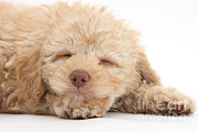 Sleeping Baby Animals Posters - Sleepy Puppy Poster by Mark Taylor