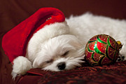 Maltese Puppy Photos - Sleepy Time by Leslie Leda