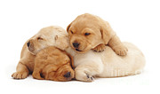 Sleeping Dog Posters - Sleepy Yellow Labrador Puppies Poster by Jane Burton