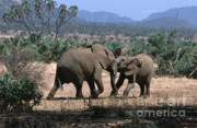 Elephant Photos - Slight Disagreement by Sandra Bronstein