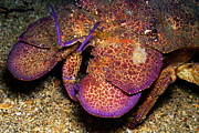 Slipper Lobster On Seabed Print by Sami Sarkis