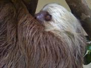 Sloth Metal Prints - Sloth Metal Print by Dolly Sanchez