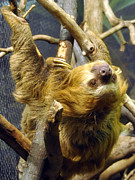 Bradypodidae Posters - Sloth looking back Poster by Anne Ferguson