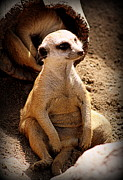 Meerkat Photos - Slouching Meerkat by Tam Graff