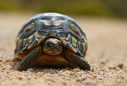 Tortoise Prints - Slow Traffic Keep Right - Angulate Tortoise Print by Bruce J Robinson