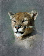 Catamount Posters - Slumbering Mountain Lion Poster by Betty LaRue