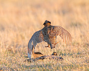 Prairie Chickens Prints - Smack Down Print by Gerry Sibell