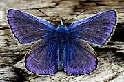 Small Blue Butterfly On A Piece Of Wood In Ireland Print by Pierre Leclerc Photography