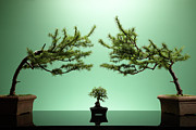 Bonsai Tree Framed Prints - Small Bonsai Tree Between Two Large Bonsai Trees Framed Print by Richard Drury