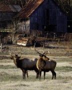 Boxley Valley Prints - Small Bull Elk by Boxley Valley Farm Print by Michael Dougherty