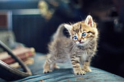 Kitten Photo Posters - Small Cute Kitten Poster by Malcolm MacGregor
