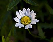 Weed Metal Prints - Small Daisy Metal Print by Svetlana Sewell