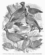 Partridge Posters - Small-game Birds Poster by Granger