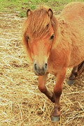 Small Horse Large Beauty Print by Karol  Livote