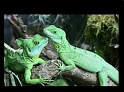 Green Day Art - Small Iguanas Stirnlappenba by Rolf Bach