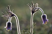 Hairy Stem Prints - Small Pasque (pulsatilla Pratensis) Print by Bob Gibbons