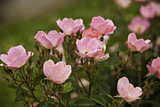 Small Pink Roses In Garden Print by M K  Miller